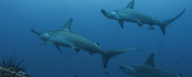 Scientists from the United States have found out how sharks navigate during migration